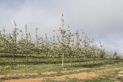 Άνθη στα δέντρα σε έναν οπωρώνα μήλων Στοκ Φωτογραφία