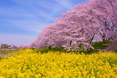 Άνθη συναπόσπορων και κερασιών Στοκ φωτογραφίες με δικαίωμα ελεύθερης χρήσης