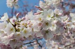 Άνθη ΣΥΝΕΧΩΝ κερασιών Στοκ εικόνα με δικαίωμα ελεύθερης χρήσης