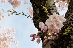 Άνθη ΣΥΝΕΧΩΝ κερασιών Στοκ Εικόνες