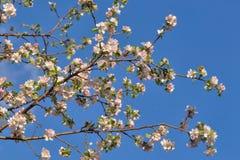 Άνθη της Apple ενάντια στον ουρανό Στοκ φωτογραφία με δικαίωμα ελεύθερης χρήσης