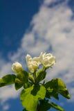 Άνθη της Apple ενάντια στον ουρανό Στοκ Εικόνες