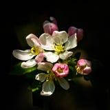 Άνθη της Apple καβουριών Στοκ Εικόνα