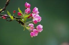 Άνθη της Apple καβουριών Στοκ φωτογραφία με δικαίωμα ελεύθερης χρήσης