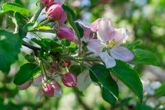 Άνθη της Apple με τα πράσινα φύλλα Στοκ Εικόνες