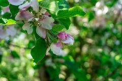 Άνθη της Apple με τα πράσινα φύλλα Στοκ φωτογραφία με δικαίωμα ελεύθερης χρήσης