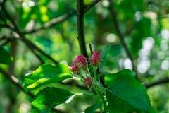Άνθη της Apple με τα πράσινα φύλλα Στοκ εικόνα με δικαίωμα ελεύθερης χρήσης