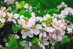 Άνθη της Apple με τις πτώσεις βροχής Στοκ Εικόνα
