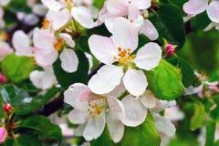 Άνθη της Apple με τις πτώσεις βροχής Στοκ εικόνα με δικαίωμα ελεύθερης χρήσης