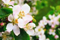Άνθη της Apple με τις πτώσεις βροχής Στοκ φωτογραφίες με δικαίωμα ελεύθερης χρήσης