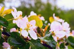 Άνθη της Apple με τις πτώσεις βροχής Στοκ φωτογραφία με δικαίωμα ελεύθερης χρήσης