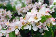 Άνθη της Apple με τις πτώσεις βροχής Στοκ Εικόνες