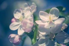 Άνθη της Apple πέρα από το θολωμένο υπόβαθρο φύσης Στοκ φωτογραφία με δικαίωμα ελεύθερης χρήσης