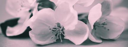Άνθη της Apple πέρα από το θολωμένο υπόβαθρο bw Στοκ Εικόνες