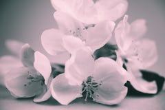 Άνθη της Apple πέρα από το θολωμένο υπόβαθρο bw Στοκ Φωτογραφίες
