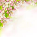 Άνθη της Apple πέρα από το θολωμένο υπόβαθρο φύσης Στοκ εικόνες με δικαίωμα ελεύθερης χρήσης