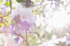 Άνθη της Apple πέρα από το θολωμένο υπόβαθρο φύσης Στοκ Εικόνες