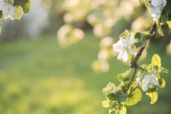 Άνθη της Apple πέρα από το θολωμένο υπόβαθρο φύσης just rained Στοκ Εικόνες
