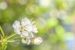 Άνθη της Apple πέρα από το θολωμένο υπόβαθρο φύσης just rained Στοκ Εικόνα