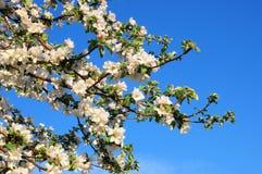 Άνθη της Apple πέρα από το υπόβαθρο μπλε ουρανού πλήρης άνοιξη λιβαδιών πικραλίδων ανασκόπησης κίτρινη Στοκ φωτογραφία με δικαίωμα ελεύθερης χρήσης