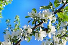Άνθη της Apple σε έναν κλάδο Στοκ εικόνες με δικαίωμα ελεύθερης χρήσης