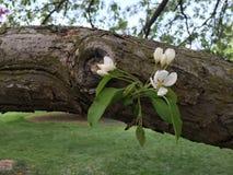Άνθη της Apple σε έναν κλάδο Στοκ Φωτογραφία
