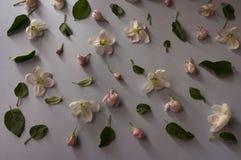 Άνθη της Apple σε ένα γκρίζο υπόβαθρο άνοιξη λουλουδιών ανασ&kap Στοκ Φωτογραφία