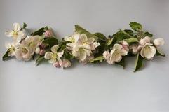 Άνθη της Apple σε ένα γκρίζο υπόβαθρο δέντρο κλάδων άνθισης μήλων Λουλούδια στα σύνορα της εικόνας με το διάστημα αντιγράφων για  Στοκ φωτογραφία με δικαίωμα ελεύθερης χρήσης