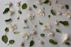 Άνθη της Apple σε ένα γκρίζο υπόβαθρο Τοπ όψη Στοκ Φωτογραφία