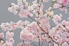 Άνθη της Apple σε γκρίζο Στοκ φωτογραφία με δικαίωμα ελεύθερης χρήσης