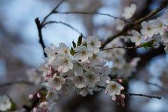 Άνθη της Apple στην άνθιση στον αγγλικό κήπο στο Μόναχο Στοκ Φωτογραφίες