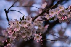 Άνθη της Apple στην άνθιση στον αγγλικό κήπο στο Μόναχο Στοκ φωτογραφία με δικαίωμα ελεύθερης χρήσης