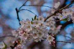 Άνθη της Apple στην άνθιση στον αγγλικό κήπο στο Μόναχο Στοκ Φωτογραφία