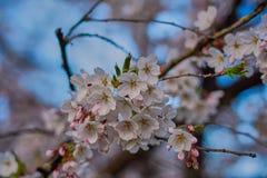 Άνθη της Apple στην άνθιση στον αγγλικό κήπο στο Μόναχο Στοκ εικόνα με δικαίωμα ελεύθερης χρήσης