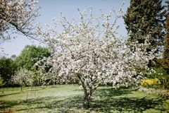 Άνθη της Apple στην άνοιξη Στοκ Εικόνες