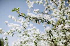 Άνθη της Apple στην άνοιξη Στοκ Φωτογραφίες