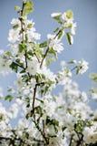 Άνθη της Apple στην άνοιξη Στοκ εικόνα με δικαίωμα ελεύθερης χρήσης
