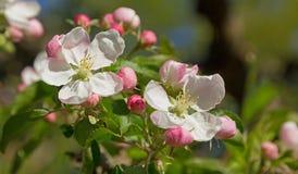 Άνθη της Apple στην άνοιξη Στοκ φωτογραφία με δικαίωμα ελεύθερης χρήσης