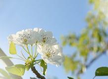 Άνθη της Apple στον κήπο κάτω από το φωτεινό φως του ήλιου Στοκ φωτογραφίες με δικαίωμα ελεύθερης χρήσης