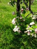 Άνθη της Apple στο δέντρο Στοκ εικόνες με δικαίωμα ελεύθερης χρήσης
