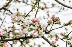 Άνθη της Apple στο δέντρο πλήρης άνοιξη λιβαδιών πικραλίδων ανασκόπησης κίτρινη Στοκ φωτογραφία με δικαίωμα ελεύθερης χρήσης