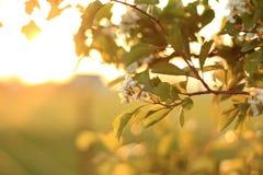 Άνθη της Apple στο ηλιοβασίλεμα Στοκ εικόνες με δικαίωμα ελεύθερης χρήσης