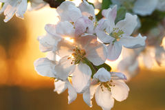 Άνθη της Apple στο ηλιοβασίλεμα Στοκ Εικόνες
