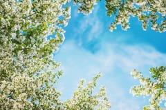Άνθη της Apple στο μπλε ουρανό Η άνοιξη ανθίζει το υπόβαθρο με το bokeh Στοκ Εικόνα