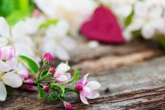 Άνθη της Apple στο παλαιό ξύλο Στοκ Εικόνα