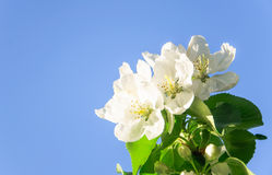 Άνθη της Apple στο υπόβαθρο μπλε ουρανού Στοκ Εικόνες