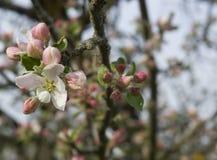 Άνθη της Apple στο χρόνο άνοιξη Στοκ φωτογραφίες με δικαίωμα ελεύθερης χρήσης