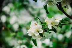 Άνθη της Apple στο όμορφο πάρκο της Μόσχας Στοκ φωτογραφία με δικαίωμα ελεύθερης χρήσης