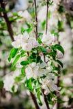 Άνθη της Apple στο όμορφο πάρκο της Μόσχας στοκ φωτογραφίες