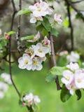 Άνθη της Apple την άνοιξη σε πράσινο Στοκ φωτογραφίες με δικαίωμα ελεύθερης χρήσης